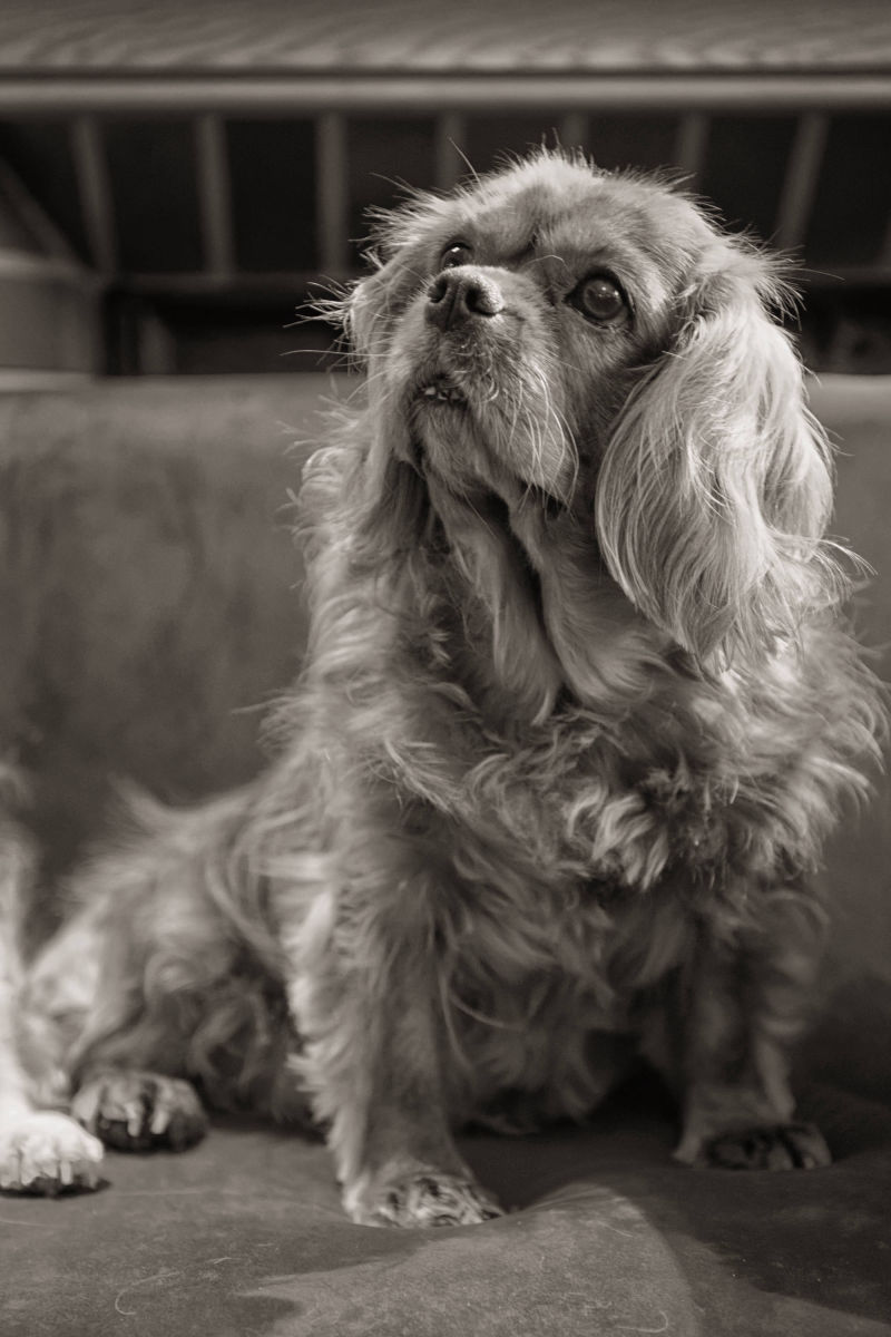 Chiens Cavalier King Charles